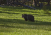 Yellowstone National Park, Wyoming, USA: a young Grizzly Bear - Ursus arctos horribills - photo by C.Lovell