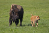 Yellowstone National Park, Wyoming, USA: a bison cow with her frolicking calf - Bison bison - American Buffalo - photo by C.Lovell