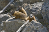 Yellowstone National Park, Wyoming, USA: Yellow Bellied Marmot - Marmota flaviventris - young amongst the rocks - photo by C.Lovell