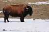 Thunder Basin National Grassland, Wyoming, USA: buffalo in the snow - Bison bison - Wyoming uses a bison in its state flag - photo by M.Torres