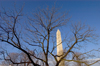 Washington, D.C., USA: bare tree on National Mall and the Washington Monument, honoring the commander of the Continental Army - photo by C.Lovell