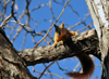 Denver, Colorado, USA: squirrel on a tree branch - Bannock St. - photo by M.Torres