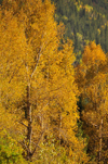 Roosevelt National Forest - Poudre Canyon, Larimer County, Colorado, USA: trees in Autumn colours - CO 14 road - Poudre Canyon Hwy - photo by M.Torres