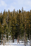 Arapaho National Forest, Colorado, USA: tall trees along US 6 highway - winter scene - photo by M.Torres