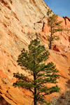 Colorado Springs, El Paso County, Colorado, USA: Garden of the Gods - pinetrees grow on the rock - photo by M.Torres