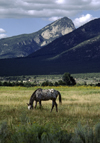 Pueblo de Taos, New Mexico, USA: Apaloosa horse grazes on the Indian Reservation land near the Pueblo - photo by C.Lovell