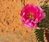 Canyonlands National Park, Utah, USA: pink cactus flower in Island in the Sky district - photo by M.Torres