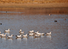 Bosque del Apache National Wildlife Refuge, Socorro County, New Mexico, USA: flock of Ross's Geese in the water - Chen rossii - wildfowl - photo by M.Torres