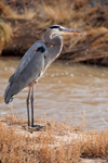 Bosque del Apache National Wildlife Refuge, Socorro County, New Mexico, USA: Great Blue Heron surveys the water for prey - Ardea herodias - photo by M.Torres