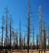 Bryce Canyon National Park, Utah, USA: dead firs on burnt land - photo by M.Torres