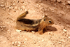 Bryce Canyon National Park, Utah, USA: Peek-A-Boo Loop Trail - chipmunk in the sand - photo by A.Ferrari