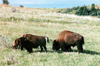 Theodore Roosevelt National Park, North Dakota, USA: bisons on the open range - photo by G.Frysinger