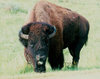 Theodore Roosevelt National Park, North Dakota, USA: bison - a good face - photo by G.Frysinger