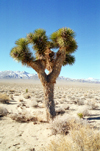 Death Valley (California): Joshua tree - Photo by G.Friedman