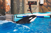Orlando (Florida): Orca (Orcinus orca), also known as the Killer Whale - SeaWorld (photo by Luca dal Bo)