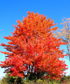 Echo lake (Maine / New England):tree - Autumn blaze (photo by Pamala Baldwin)