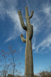 USA - Arizona - Sonoran Desert: saguaro cactus - Carnegia gigantea - flora of North America - Photo by K.Osborn