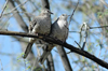 USA - Sonoran Desert (Arizona): lovebirds - Inca Doves on a tree - Columbina inca - birds - fauna - Photo by K.Osborn