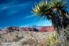 USA - Red Rock Canyon (Nevada): Yucca tree - Yucca decipiens - photo by J.Fekete