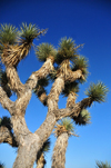 Death Valley National Park, California, USA: Joshua tree / Yucca palm, Yucca brevifolia - monocotyledonous tree is native to southwestern North America - evergreen, stiff and dagger-like leaves - photo by M.Torres