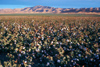 California: Cotton field - agriculture - photo by J.Fekete