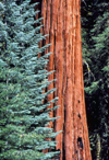 USA - California: Giant Sequoia tree - photo by J.Fekete