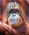 San Diego (California): Orangutan face - smile for the camera - zoo - Pongo abelii - animal - Asian fauna - animal in captivity - photo by J.Fekete