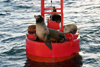 USA - Long Beach (California): sea lions on a signaling buoy (photo by C.Palacio)