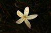 70 Venezuela - Bolivar - Canaima NP - Star-like flower of Roraima - photo by A. Ferrari