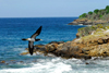 Los Testigos islands, Venezuela: Brown Booby flying along the coast - Sula leucogaster - photo by E.Petitalot