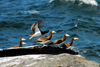 Los Testigos islands, Venezuela: six Brown Boobies on a rock by the sea - Sula leucogaster - photo by E.Petitalot