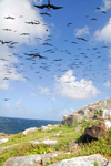 Los Testigos islands, Venezuela: flock of frigatebirds flying above one of the Testigos islands - pelagic piscivores - Magnificent Frigatebird - photo by E.Petitalot