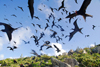 Los Testigos islands, Venezuela: dense flock of Frigatebirds - flying above the Testigos archipelago - Fregata magnificens - photo by E.Petitalot
