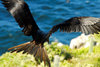 Los Testigos islands, Venezuela: frigatebird preparing to land - Fregata magnificens - photo by E.Petitalot