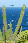 Los Testigos islands, Venezuela: cactus, frigatebird and the Caribbean sea - photo by E.Petitalot