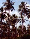Venezuela - Boca de Aroa (Falc�n): coconut tree forest (photo by M.Torres)