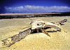 Venezuela - Isla de Margarita - Nueva Esparta: dog skull on the beach - bones - photo by A.Walkinshaw