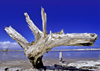 Venezuela - Isla de Margarita - Nueva Esparta: ghostly dead tree - photo by A.Walkinshaw