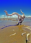 Venezuela - Isla Margarita - Nueva Esparta: dead tree on the shallow water - photo by A.Walkinshaw