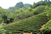 Ba Be National Park - vietnam: tea plantation - a daily drink in vietnam most of Asia - photo by Tran Thai