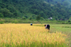 Ba Be National Park - vietnam: peasants harvesting rice with sickles - photo by Tran Thai