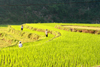 Ba Be National Park - vietnam: farmers in a rice terrace - photo by Tran Thai