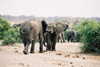 Kafue National Park, Zambia: elephants - photo by C.Engelbrecht