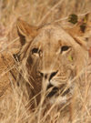 Masuwe, Matabeleland North province, Zimbabwe: lion in the tall grass - photo by R.Eime