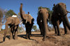 Masuwe, Matabeleland North province, Zimbabwe: elephants and mahouts - photo by R.Eime