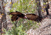 Victoria Falls Safari Lodge, Matabeleland North province, Zimbabwe: vulture in flight - photo by R.Eime