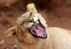 Masuwe, Matabeleland North province, Zimbabwe: lion cub growling - photo by R.Eime