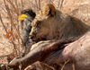 Masuwe, Matabeleland North province, Zimbabwe: a lion makes a kill - photo by R.Eime
