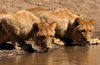 Zambezi National Park, Matabeleland North province, Zimbabwe: lions at a water hole - photo by R.Eime