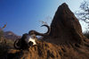 Lake Kariba, Mashonaland West province, Zimbabwe: Cape Buffalo skull with horns and termite mound in the Lake Kariba Recreational Park - photo by C.Lovell